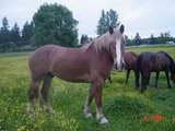 BELGIAN DRAFT 10 YEAR OLD, RIDING HORSE in Fort Lewis, Washington